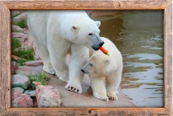 Ranuan eläintarhan jääkarhuja