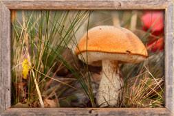 Sienestys tatti korvasieni